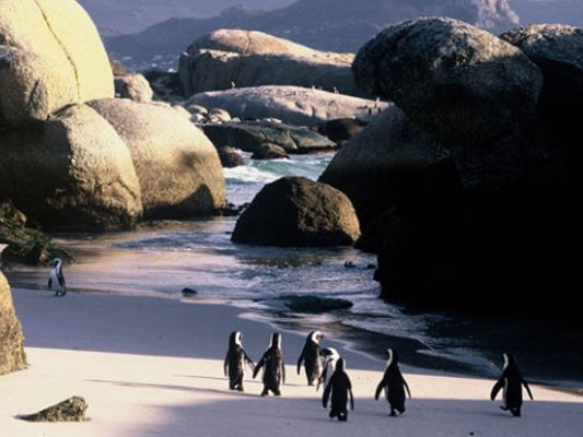 South Africa National Parks - Penguins at Boulders Beach